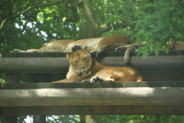 06.22.05 - Lions napping