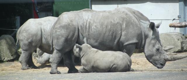 06.22.12 - Baby rhinos